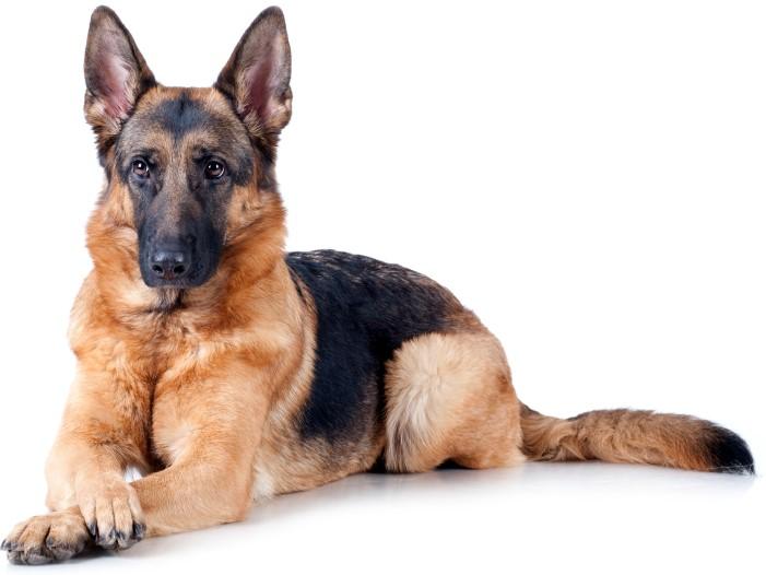 german shepherd dog alsatian wolf the pet net